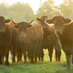 Cattle with mist
