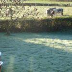 cattle in frost