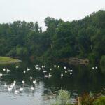 50 Plus Swans