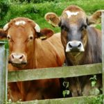 Nosey Cattle