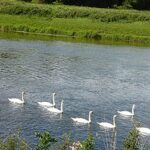 Swans on the river near Sink Green Farm Hereford