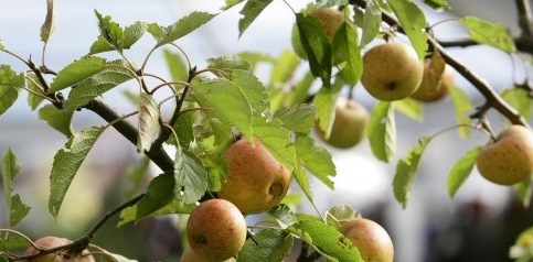 Cider in Herefordshire