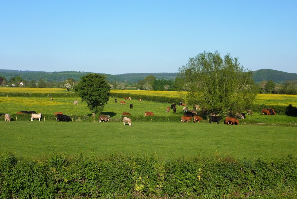 Cattle in Lanick middle medow bottom Ox pasture at Sink Green Farm 1