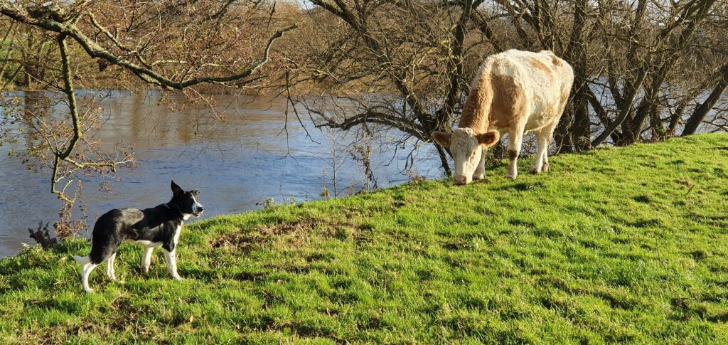 Seb making friends with one of our cows