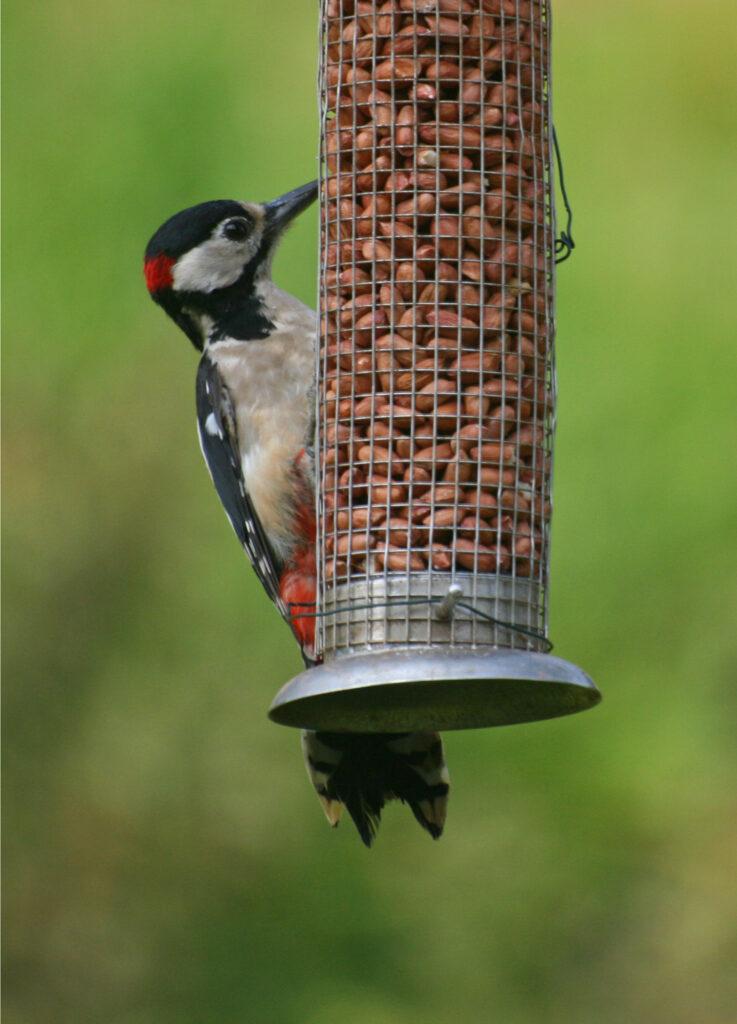 Woodpecker feeding 1