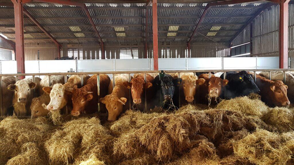 Cattle enjoying silage