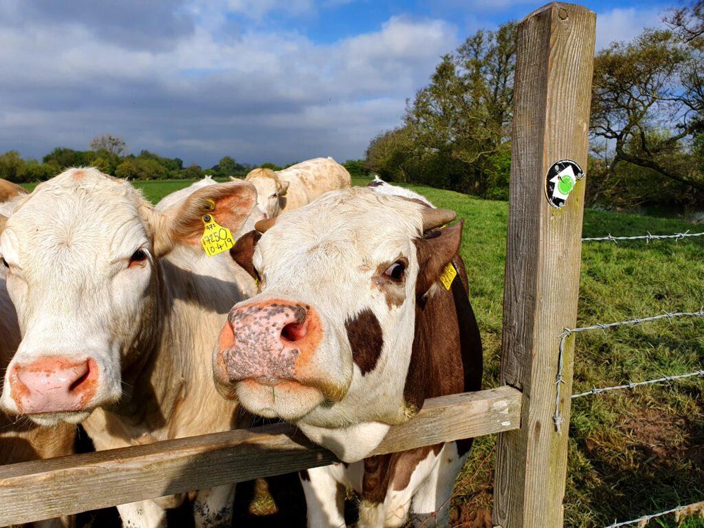 Friendly cattle