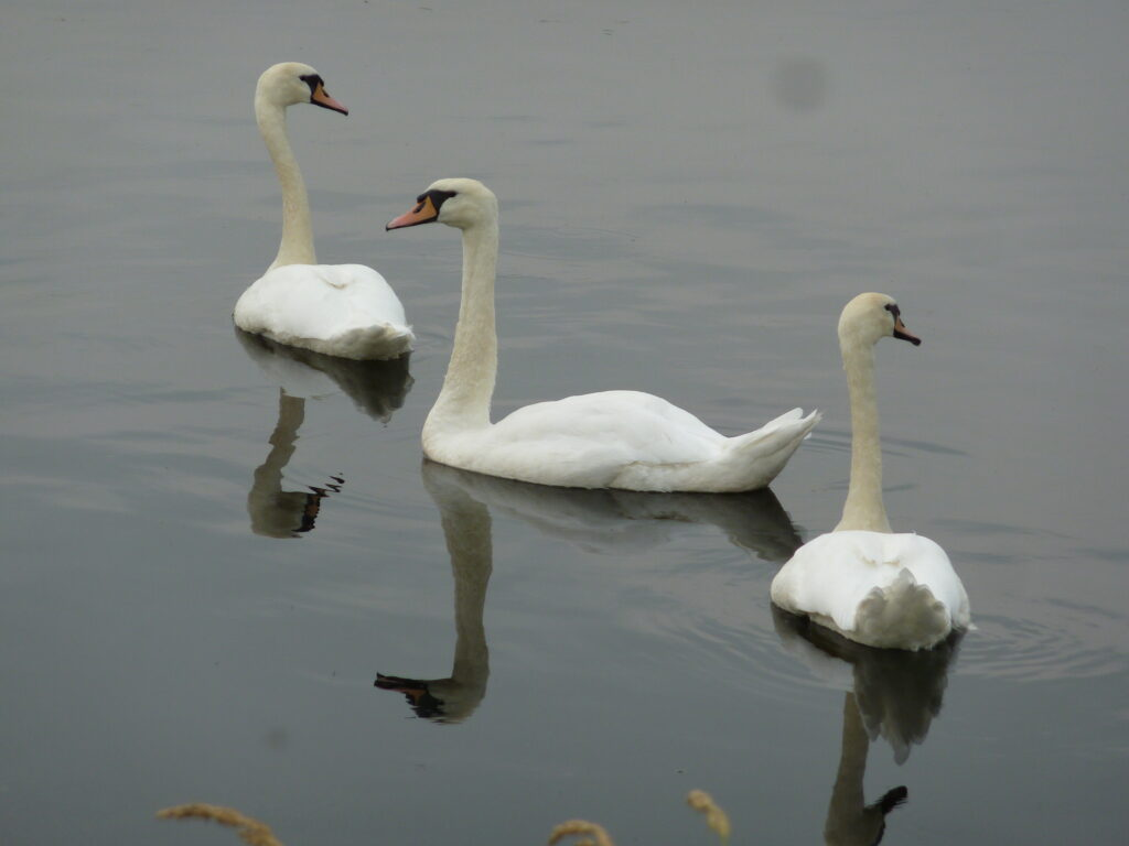 Peaceful swans
