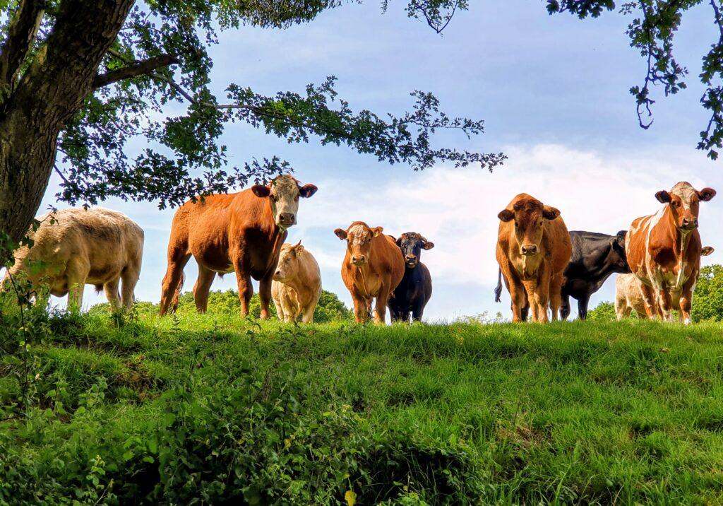 Watchful cattle