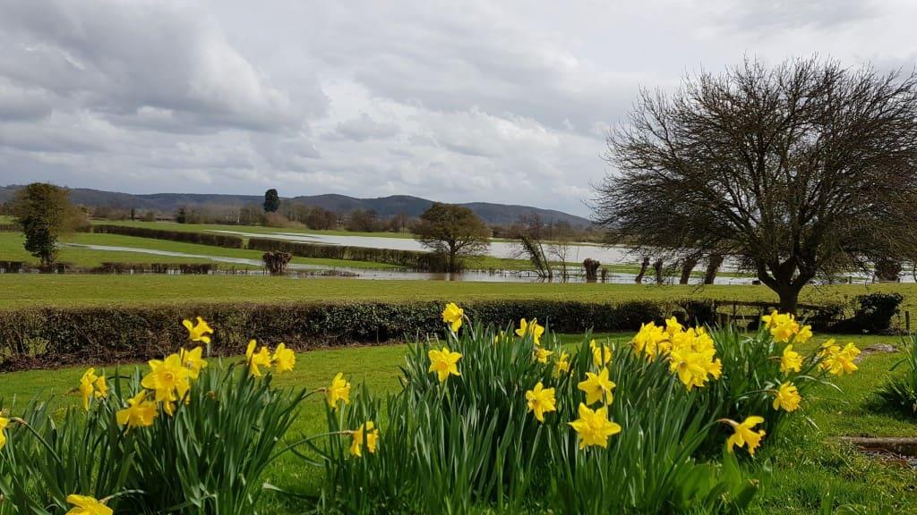 Daffodils & flood