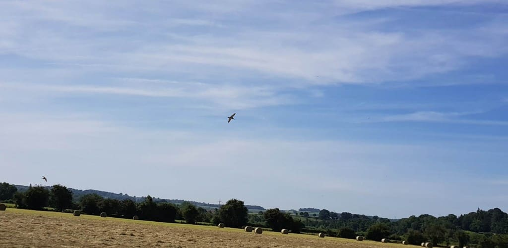 Curlew's flying over freshly baled medow.
