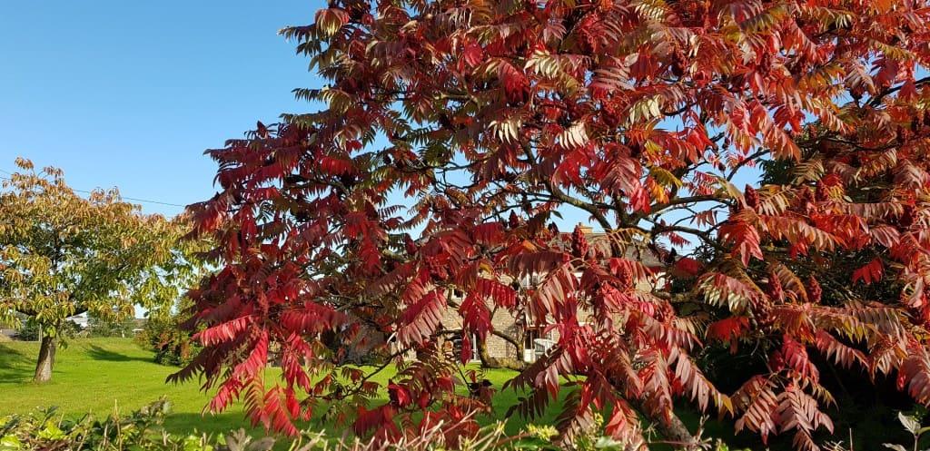 Farmhouse through the beautiful autumn colours of the Shumak tree.