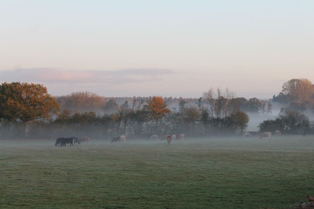 Cattle enjoying the early morning.