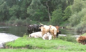 Cattle by river 2