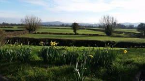 Daffodils - resized