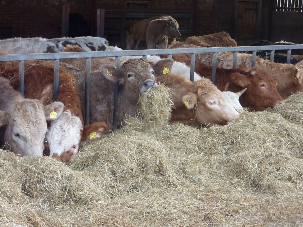 Cattle enjoying their feed.