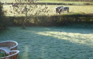 Cattle enjoying a frosty morning
